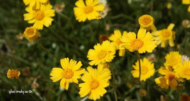 Tetraneuris_acaulis_flowers_Angelita_daisy